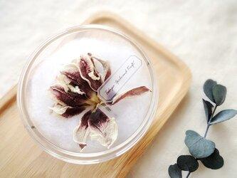 植物標本 ■シャーレ仕立て■ チューリップ ゲープランドキフトの画像