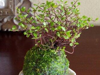 ワイヤープランツの苔玉の画像