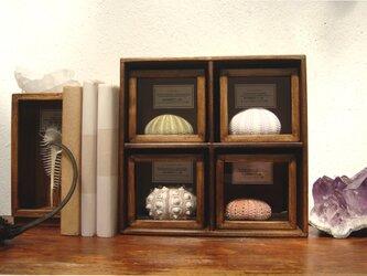 ウニ殻骨格標本箱4個セット。の画像