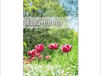 1311) チューリップ    ポストカード5枚組の画像