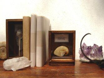タコブネの貝殻標本箱(小さめ)。の画像
