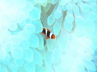 かくれんぼ PH-A4-0161 沖縄 石垣島 ハマクマノミ クマノミ 水中 魚 サカナの画像