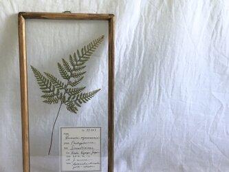 【植物標本シリーズ】トキワシノブの押し花フレームの画像