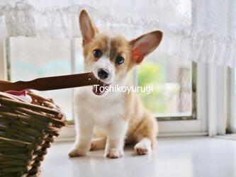 犬写真001 コーギー  2Lサイズ インクジェツトの画像