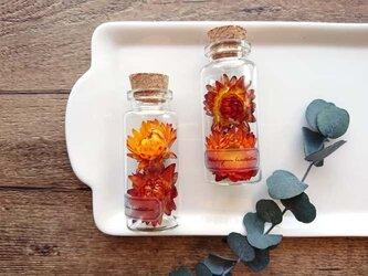 植物標本 Botanical Collection■ヘリクリサム ナチュラル オレンジブラウンの画像