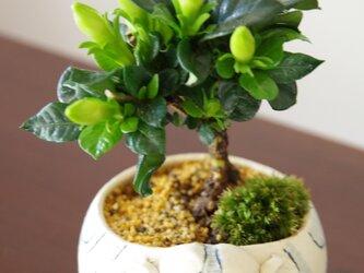 クチナシの盆栽 【陶芸家作盆栽鉢】の画像