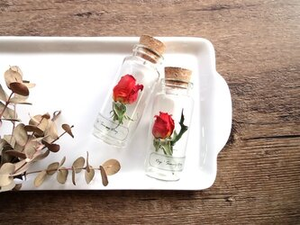 【展示のみ】植物標本 Botanical Collection■No.R-30 バラ サニーディの画像