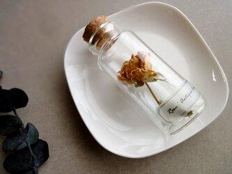 植物標本 Botanical Collection■No.R-33 バラ アンティークレースの画像