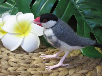 ぷっくり♪桜文鳥の画像