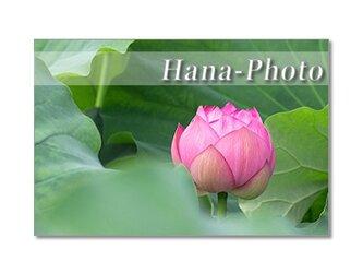 1336)息をのむ美しさ!ハスの花  ポストカード5枚組の画像
