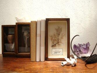 ウミカラマツの標本。の画像