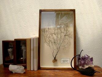 ウミウチワ(白色)の標本その弐。の画像