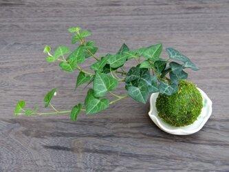 ヘデラの苔玉【1点物 オリジナル受皿付き】の画像