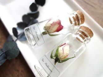 【展示のみ】植物標本 Botanical Collection■No.R-36 バラ ハロウィンの画像