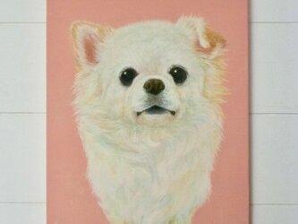 チワワ・pinkの画像