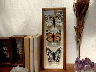縦型3種類のフェイク蝶標本。の画像
