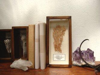 軟質珊瑚の1種標本その壱。の画像