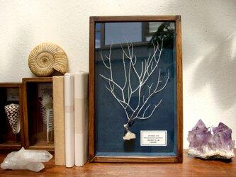 軟質珊瑚の骨格標本(白)その壱。の画像