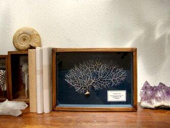 軟質珊瑚の骨格標本(白)その弐。の画像