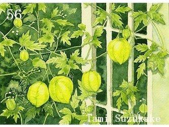 ポストカード「56・フウセンカズラ(風船葛)」選べる2枚セットの画像