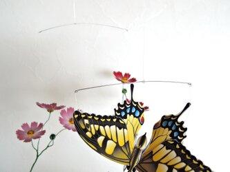コスモス畑のアゲハチョウの画像