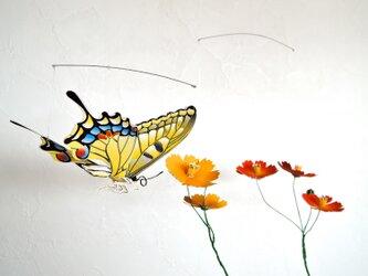 コスモス畑のアゲハチョウ(黄花)の画像