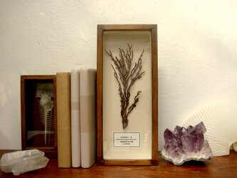 軟質珊瑚の1種標本その四。の画像