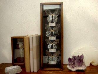 樹脂製縦型蝶標本箱。「一点物」の画像