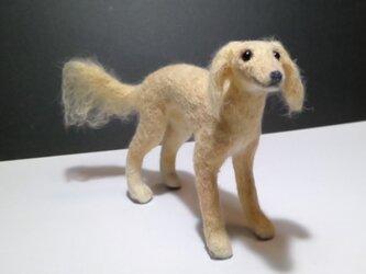サルーキの子犬(売約済み)の画像