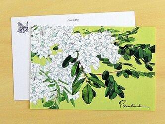 ポストカード アカシアの画像