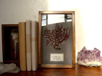 軟質珊瑚の1種標本その五。の画像