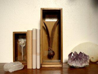 フタバガキの種子標本。の画像