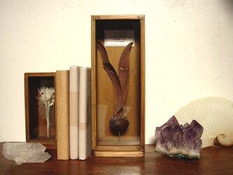 フタバガキの種子標本(楕円型)。の画像
