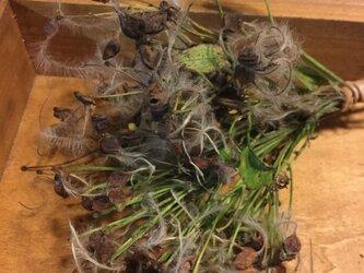 ふわふわ綿毛と種が可愛い仙人草ドライフラワーの画像