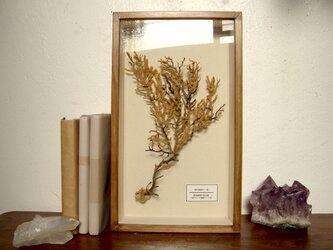 軟質珊瑚の1種標本その七。の画像