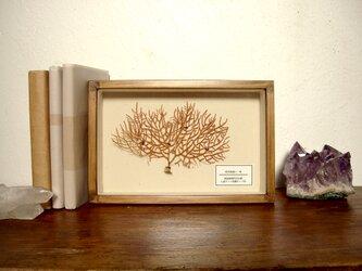 軟質珊瑚の1種標本その八。の画像