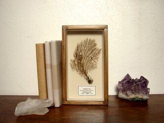 軟質珊瑚の骨格標本その三。の画像