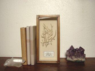 軟質珊瑚の1種標本その九。の画像