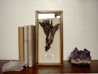 軟質珊瑚の骨格標本その四。の画像