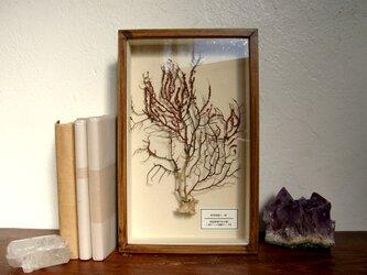 軟質珊瑚の1種標本その十。の画像