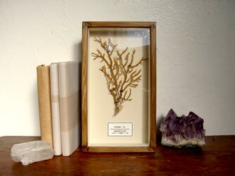 軟質珊瑚の1種標本その十二。の画像