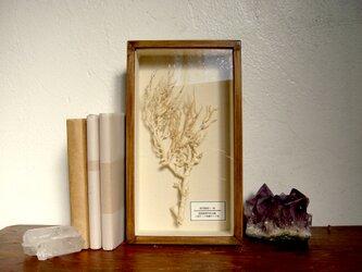 軟質珊瑚の1種標本その十三。の画像