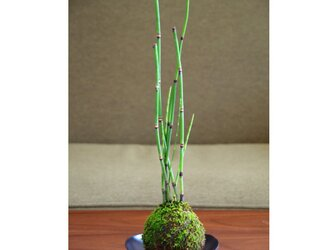 トクサの苔玉【受皿付き】の画像