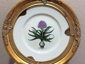 オオツルボの花と球根の絵皿の画像
