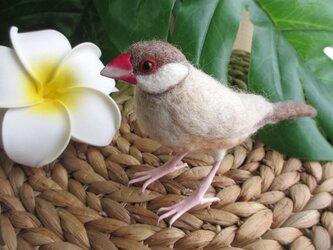 ラブリー♪シナモン文鳥の画像