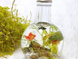 「母の日ギフト」金魚鉢の中で泳ぐ金魚たちの画像