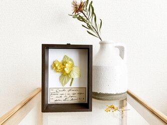 染花標本 : 菜の花の標本BOX (a)の画像