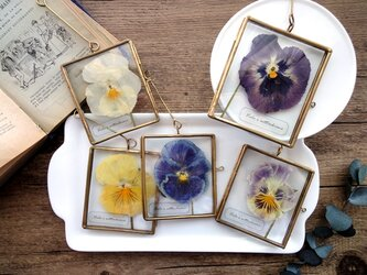 植物標本 ■押し花フレーム ガーランド■Square パンジー5枚セットの画像