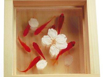 アクリルアート 「桜/sakura」★★春限定作品★★ 本物の桜×3D金魚 夏 ラッピング 父の日の画像
