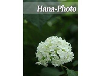1357) 美しいアナベル  ポストカード5枚組の画像